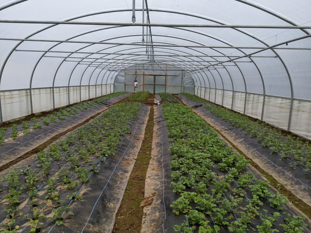 Looking greener in the polytunnel