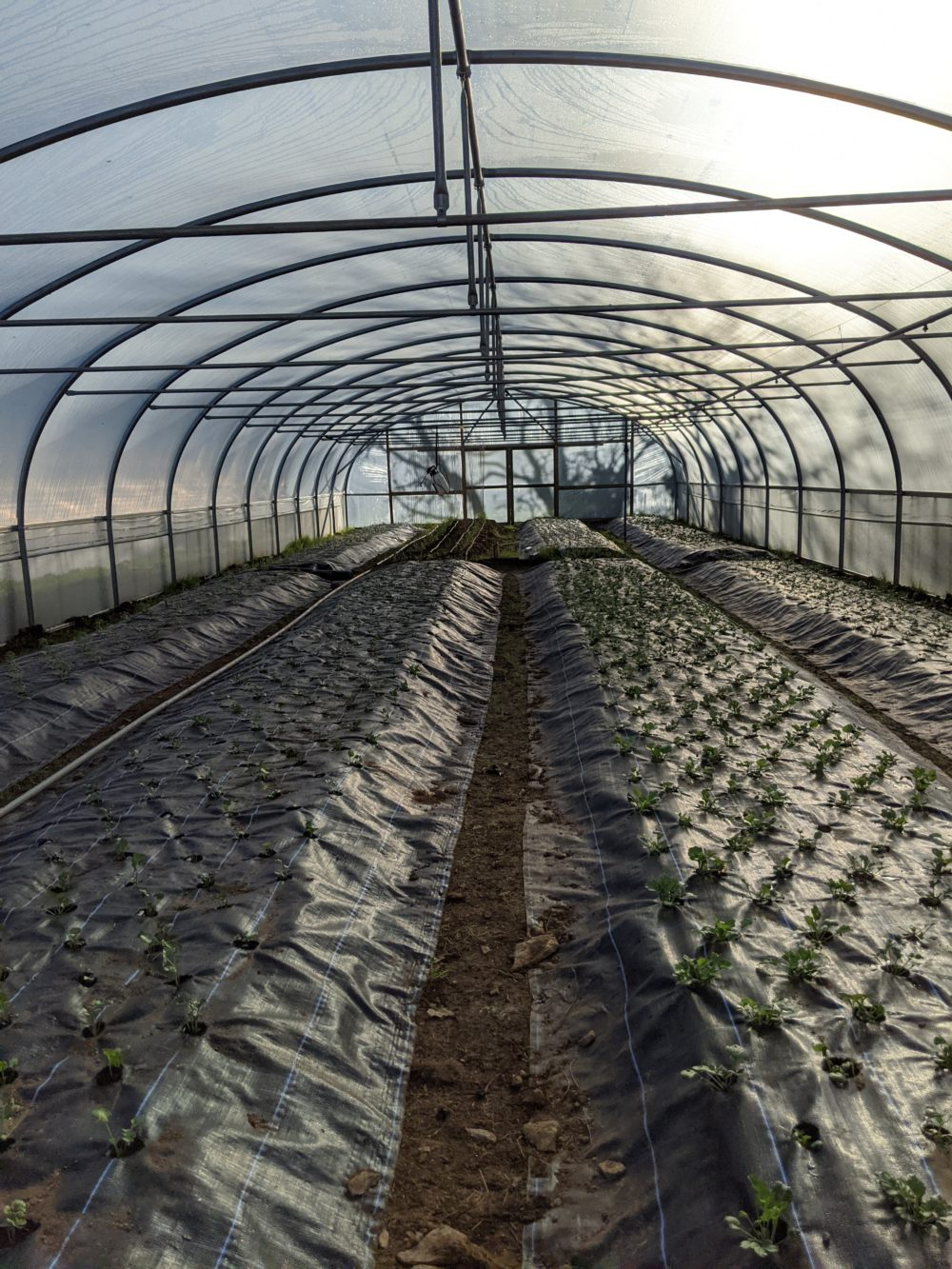 Still just seedlings but one polytunnel is now full.