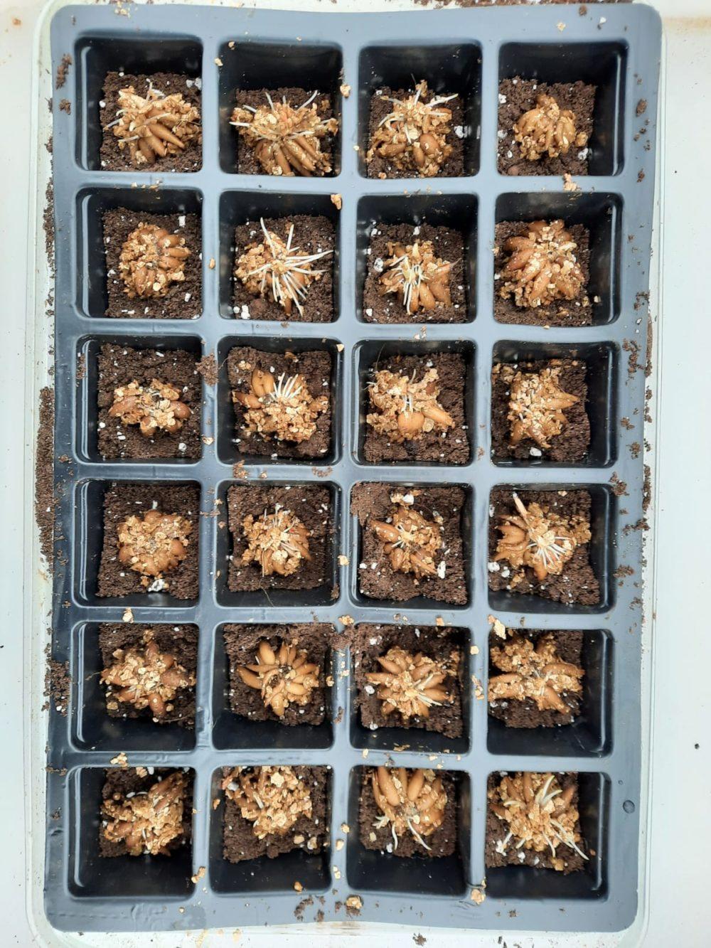 Ranunculus corms