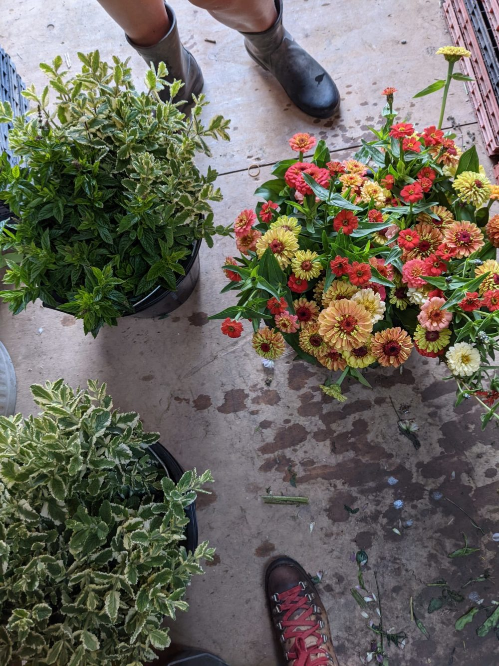 Mint, clary sage and zinnias