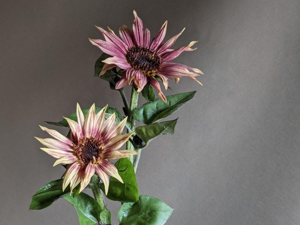 Bronze and burgundy sunflowers